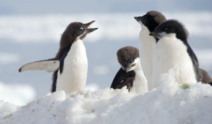 Adelie Penguins - Oceanwide Expeditions