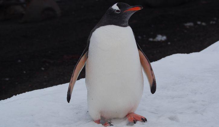 Penguin, Deception Island
