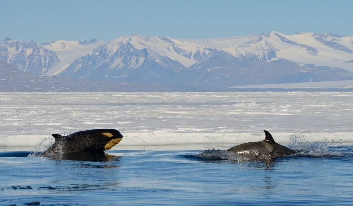 Orcas - Ross Sea - Oceanwide Expeditions