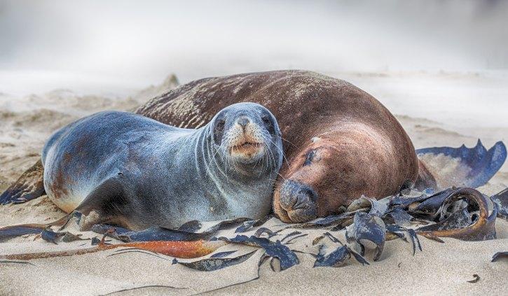 New Zealand Sea Lions