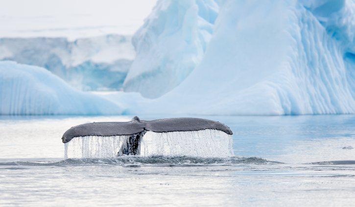 Humpback Whale Fin, Antarctica