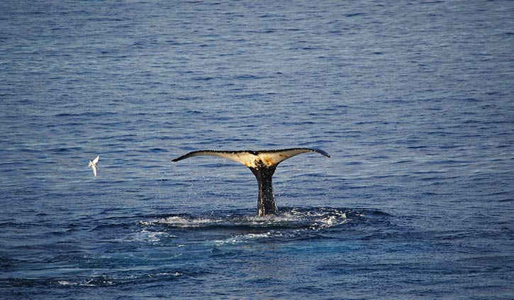 Whale and Antarctic Tern