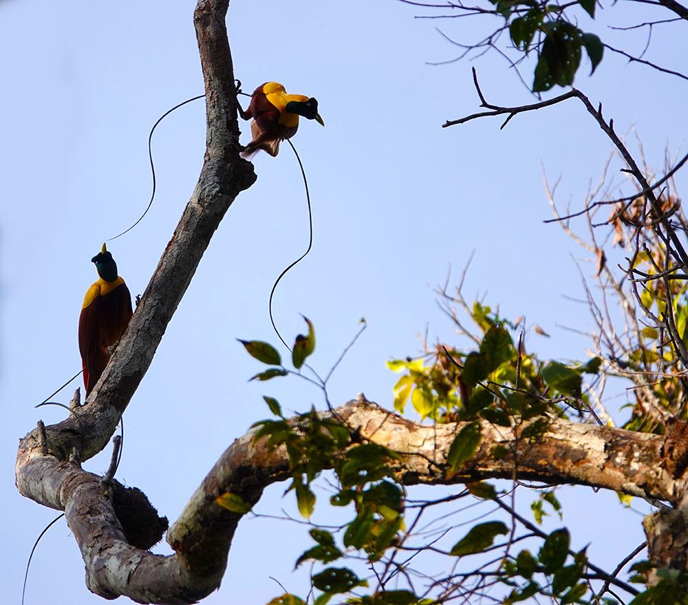 Birds of Paradise, Raja Ampat by Jennifer Boyd