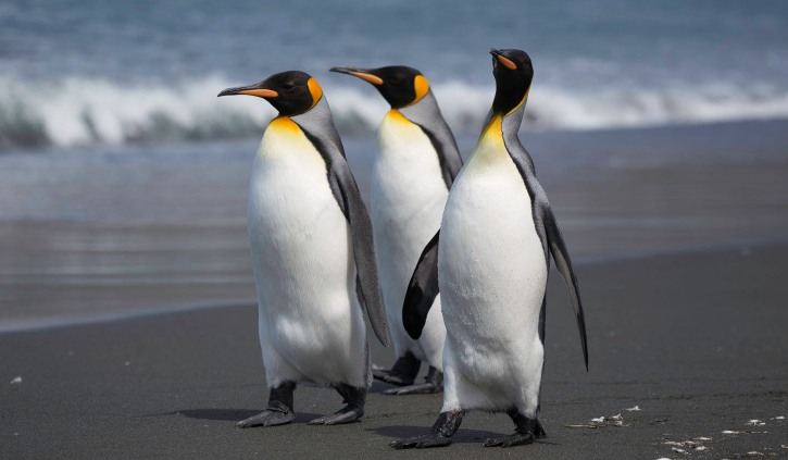 Heritage Expeditions - King Penguins