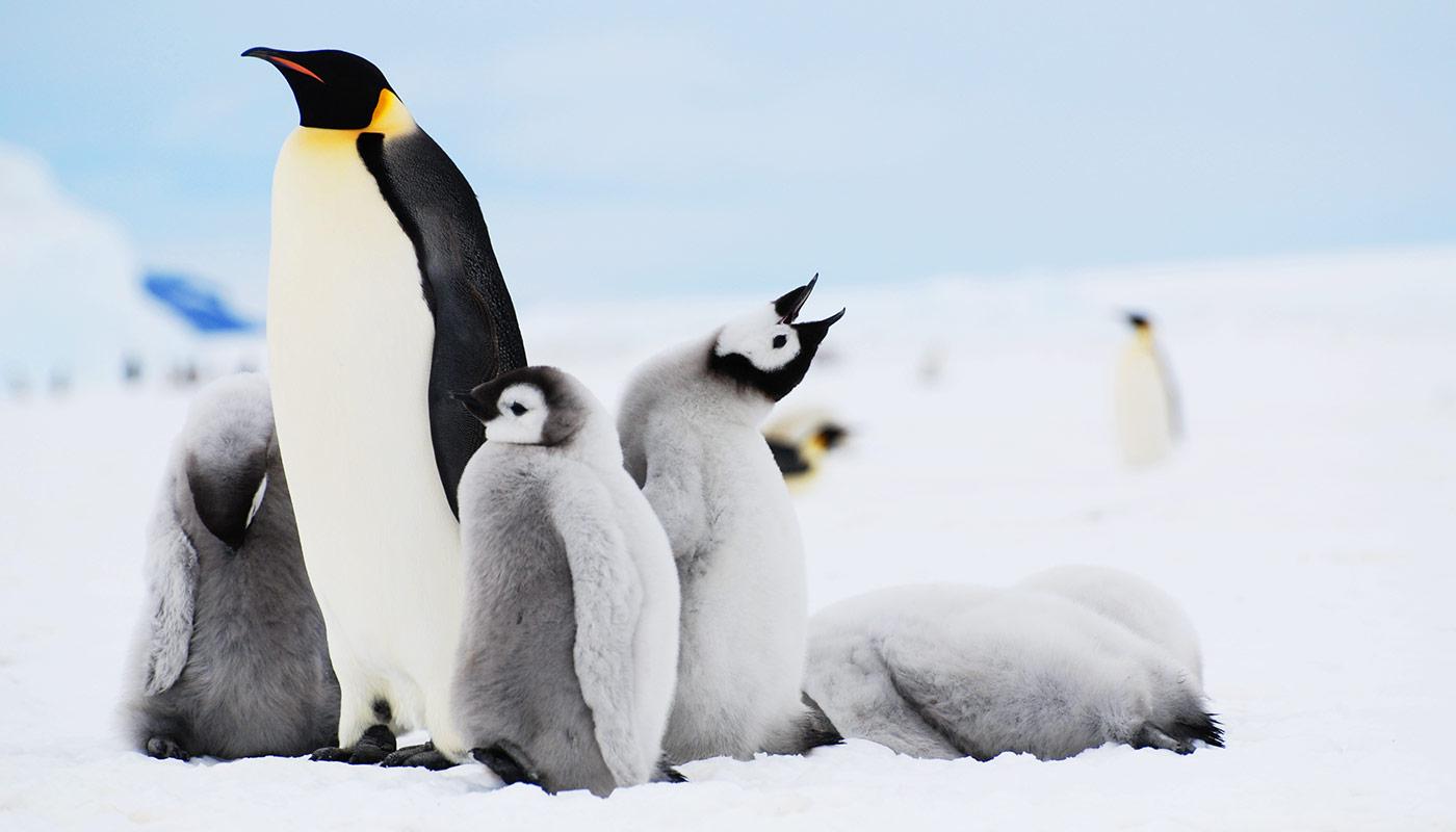 Emperor Penguins, Snow Hill
