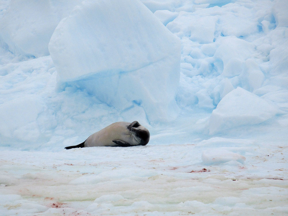 Nap time on the Antarctic Peninsula by Christina Jones