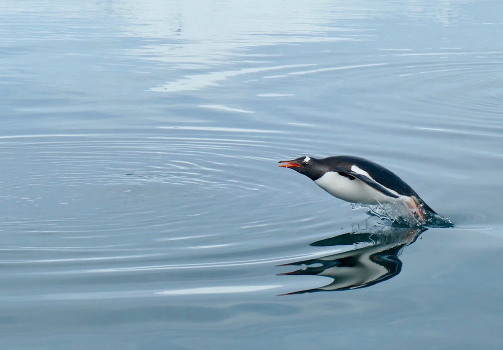 Porpoising Gentoo Penguin by Doug Cavaye