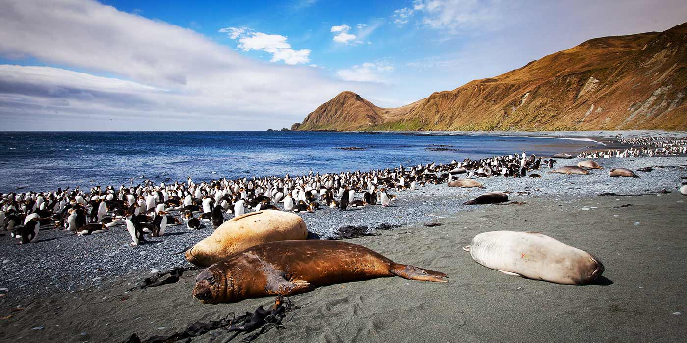 Macquarie Island Royal Penguins and Southern Elephant Seals