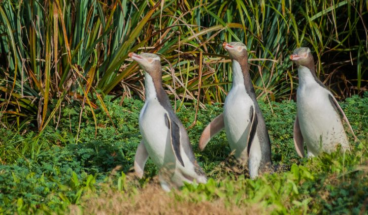 Yellow Eyed Penguins, Enderby