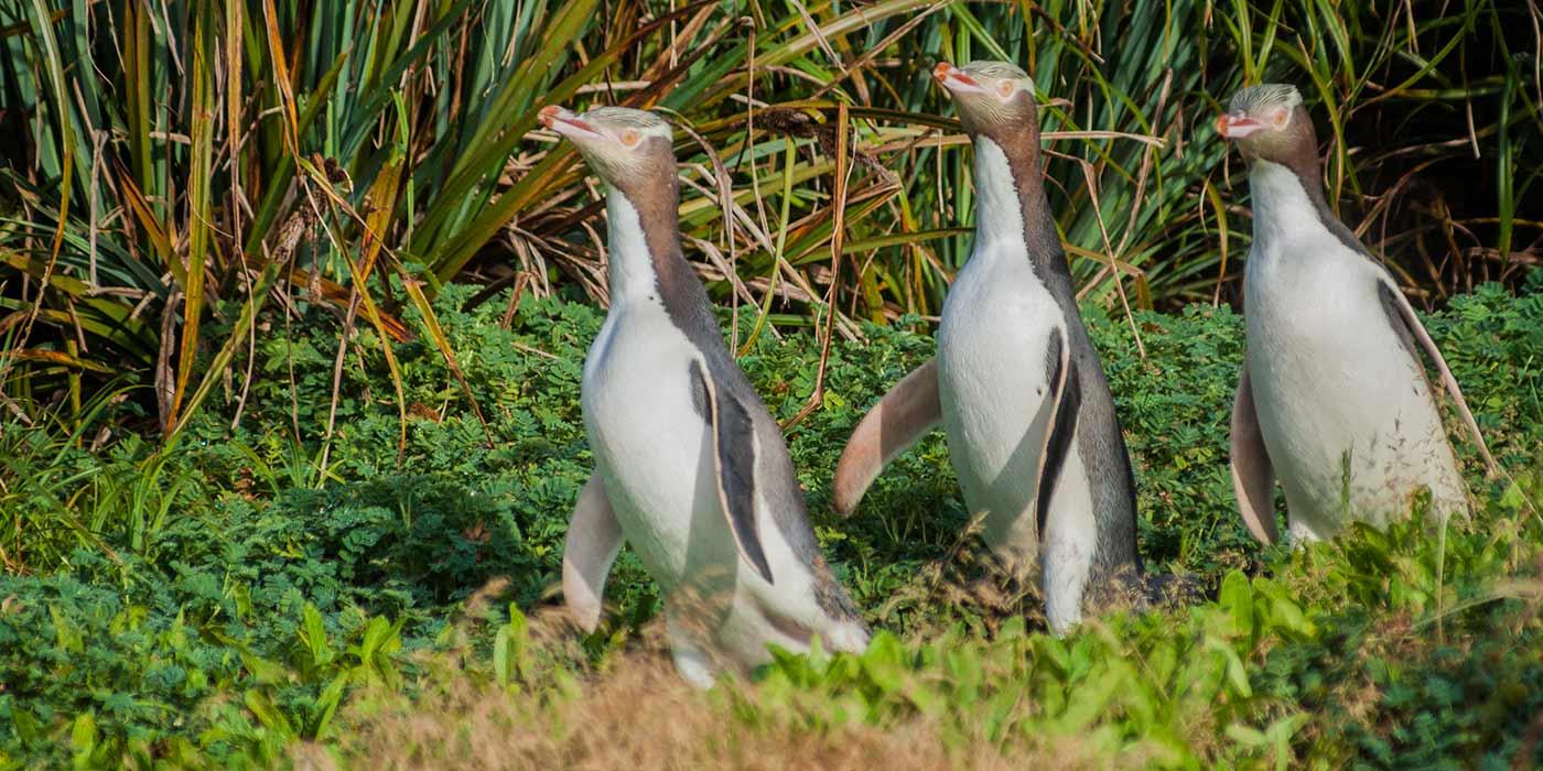 Yellow Eyed Penguins Enderby Island