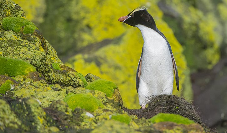 Erect Crested Penguins, Bounty Islands